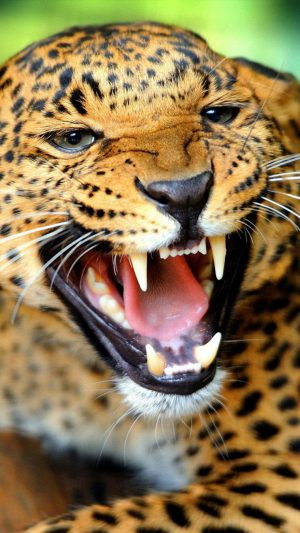 Crazy Angry Leopard iPhone 8 wallpaper