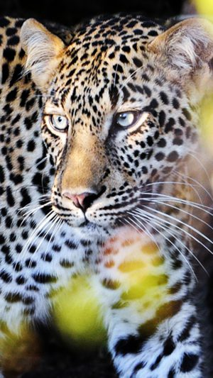 Perfect Leopard iPhone 8 wallpaper