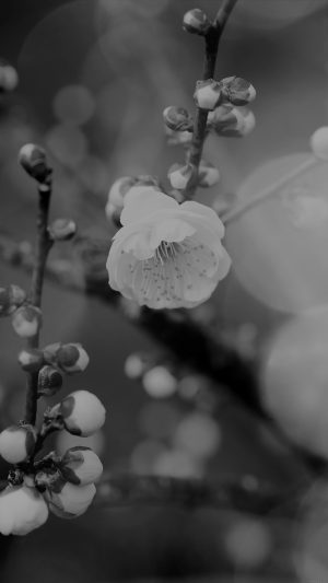 Apricot Flower Bud Dark Spring Nature Twigs Tree iPhone 8 wallpaper