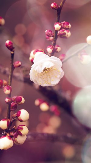 Apricot Flower Bud Flare Spring Nature Twigs Tree iPhone 8 wallpaper