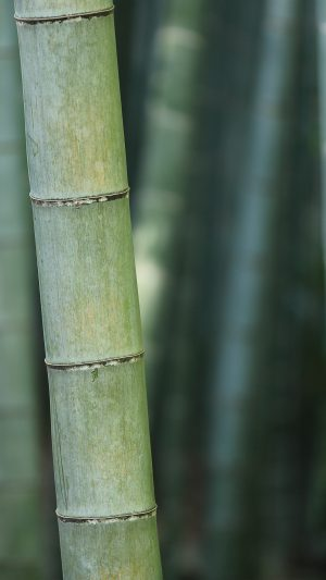 Bamboo Nature Tree Green iPhone 8 wallpaper