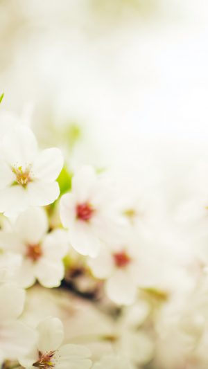 Blossom Cherry Spring Sakura Nature Flower iPhone 8 wallpaper