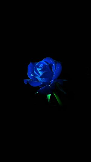 Blue Rose Dark Flower Nature iPhone 8 wallpaper