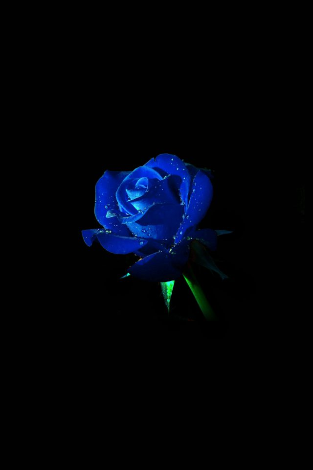 Blue Rose Dark Flower Nature Iphone 8 Wallpaper Iphone8wallpaperscom