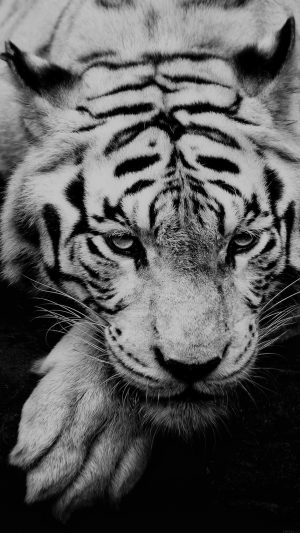 Bw Dark Tiger Animal iPhone 8 wallpaper