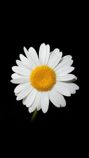 Daisy Flower Dark Nature iPhone 8 wallpaper