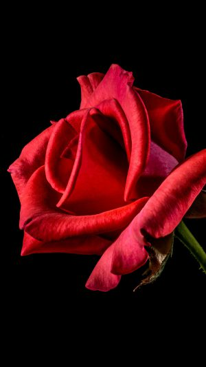 Flower Rose Red Dark Beautiful Best Nature iPhone 8 wallpaper