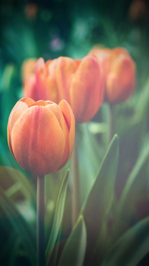 Flower Tulip Green Vignette Love Nature iPhone 8 wallpaper