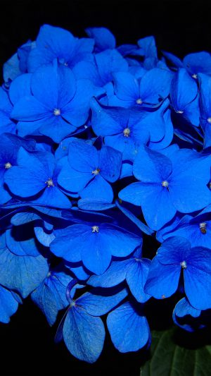 Hydrangea Blossom Flower Blue Dark Nature iPhone 8 wallpaper