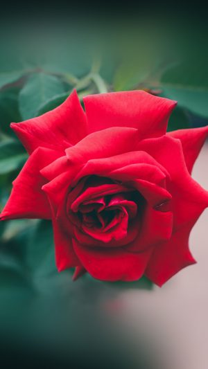Red Rose Nature Flower Wood Love Valentine iPhone 8 wallpaper