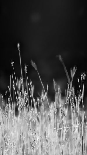 Reed Weed Flower Nature Flare Black Bw iPhone 8 wallpaper