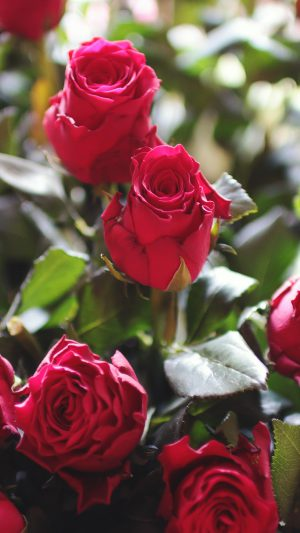 Rose Flower Gift Red Nature iPhone 8 wallpaper