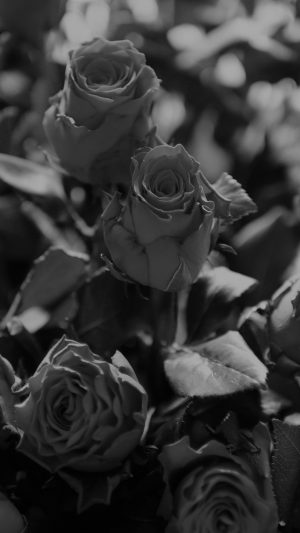 Rose Flower Gift Red Nature Dark Bw iPhone 8 wallpaper