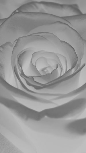 Rose Flower White Nature iPhone 8 wallpaper