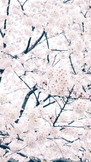 Sakura Cherry Spring Tree Flower Nature iPhone 8 wallpaper