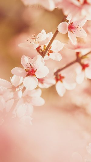 Spring Flower Sullysully Cherry Blossom Nature iPhone 8 wallpaper