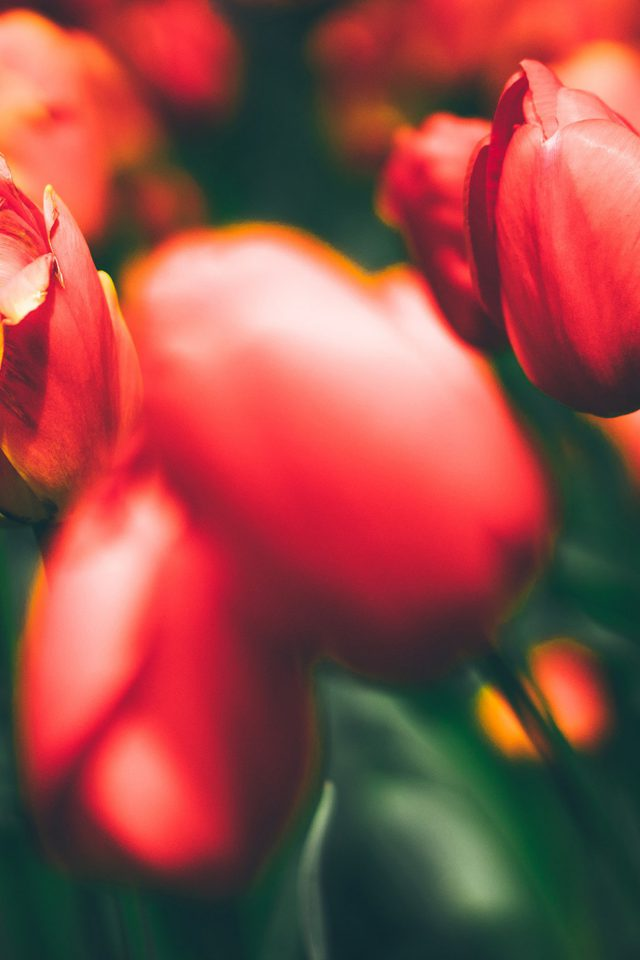 Tulips Red Flower Nature Sprin Iphone 8 Wallpaper