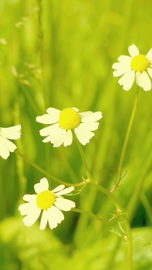 Wallpaper Spring Flower White Grass Nature iPhone 8 wallpaper