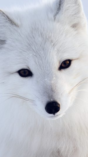 Artic Fox White Animal Cute iPhone 8 wallpaper