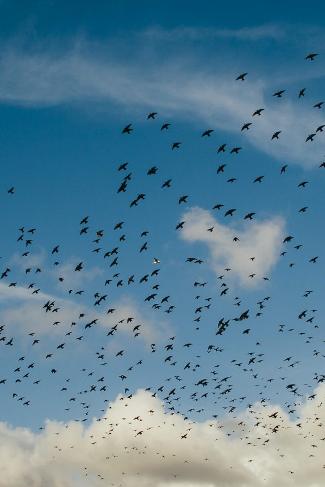 Birds Sky Animal Fly Blue Cloud Nature iPhone wallpaper