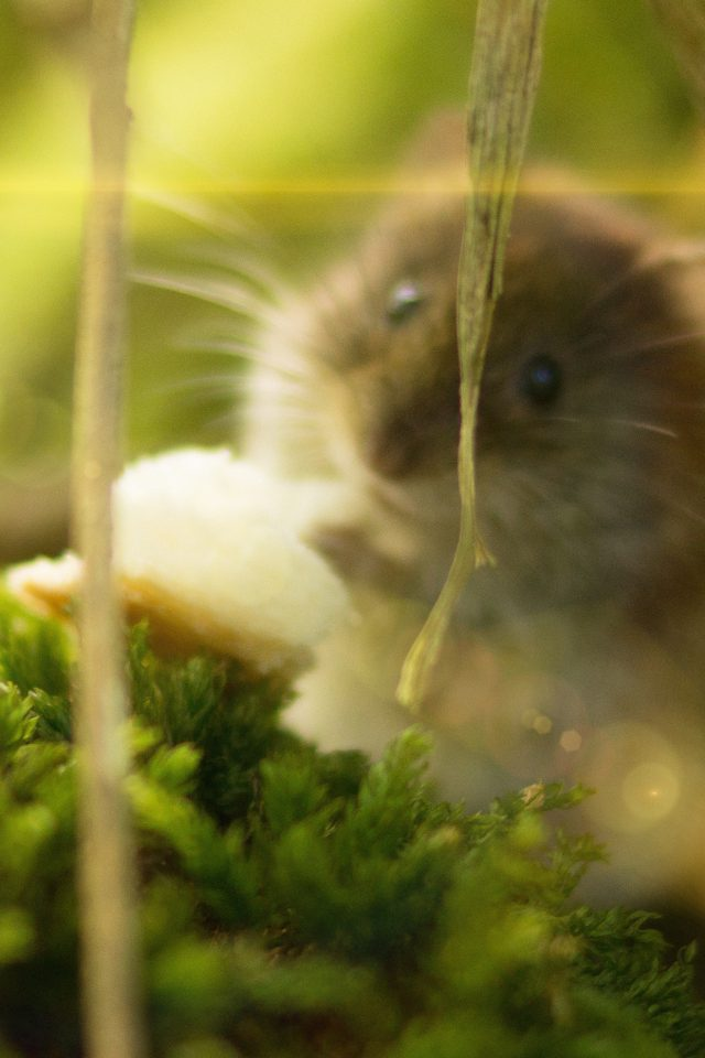 Cute Mouse Animal Nature Flare iPhone wallpaper