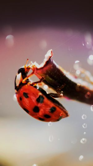 Lady Bug Macro Zoom Animal iPhone 8 wallpaper