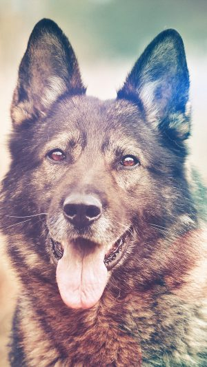 My Shepherds Dog Flare Smile Animal Nature iPhone 8 wallpaper