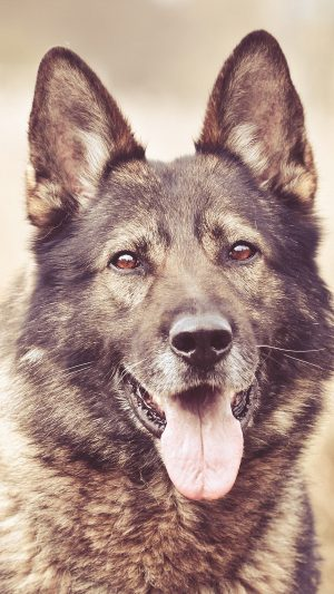 My Shepherds Dog Smile Animal Nature iPhone 8 wallpaper