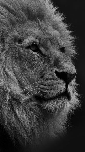 National Geographic Nature Animal Lion Dark Bw iPhone 8 wallpaper