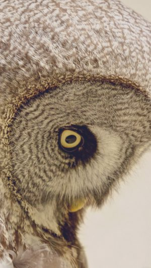 Owl Eye Animal Nature iPhone 8 wallpaper