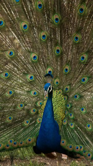 Peacock Animal Beautiful Nature iPhone 8 wallpaper