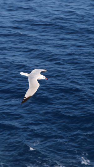 Seagull Bird Sea Ocean Animal Nature iPhone 8 wallpaper