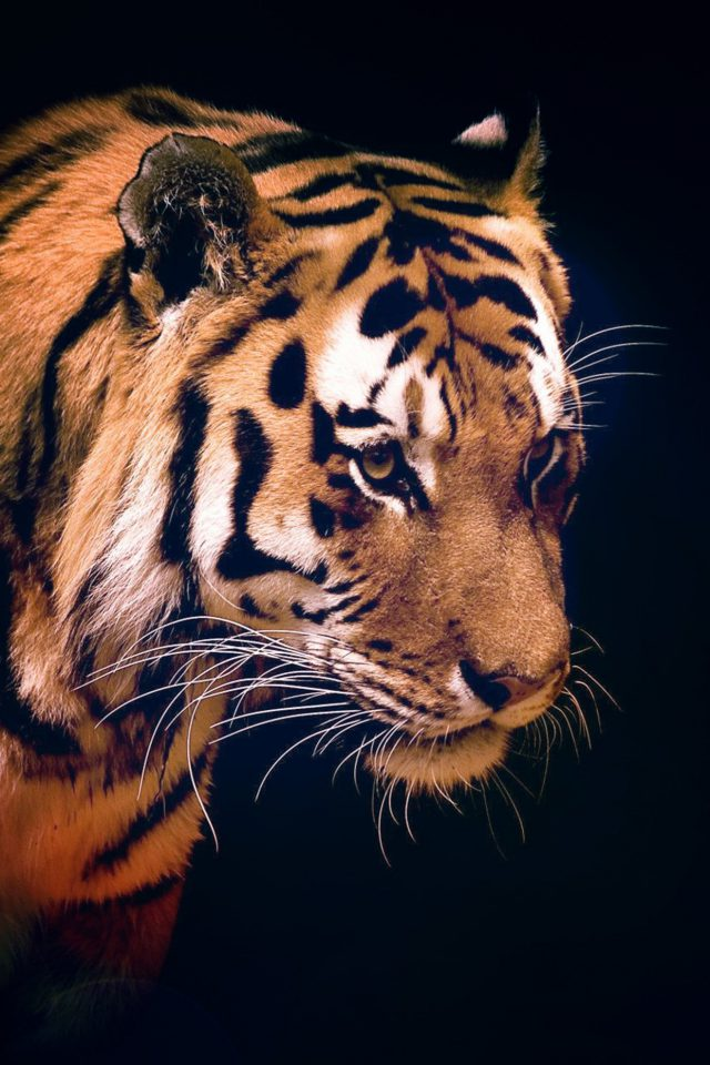 Tiger Dark Animal Love Nature iPhone wallpaper