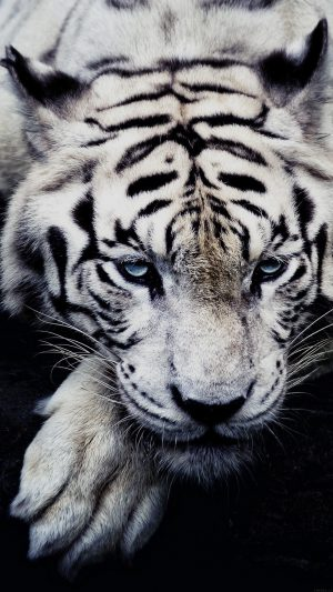 White Tiger Animal iPhone 8 wallpaper