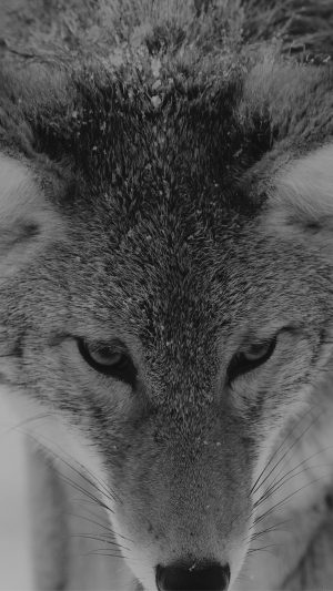 Wolf Snow Animal Dark Bw Levi Saunders iPhone 8 wallpaper
