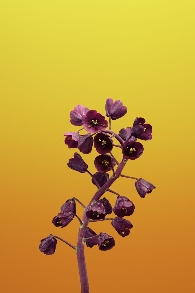 Flower FRITILLARIA iPhone wallpaper