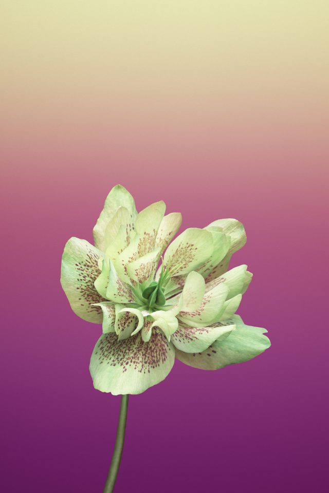 Flower HELLEBORUS iPhone wallpaper